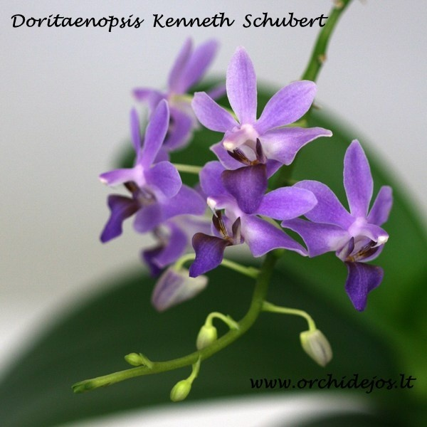Doritaenopsis Kenneth Schubert