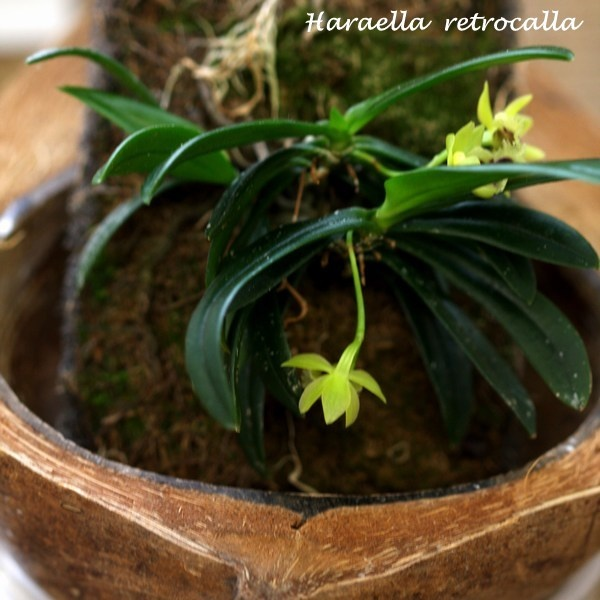Haraella retrocalla