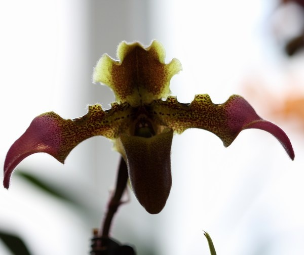 Paphiopedilum esquirolei