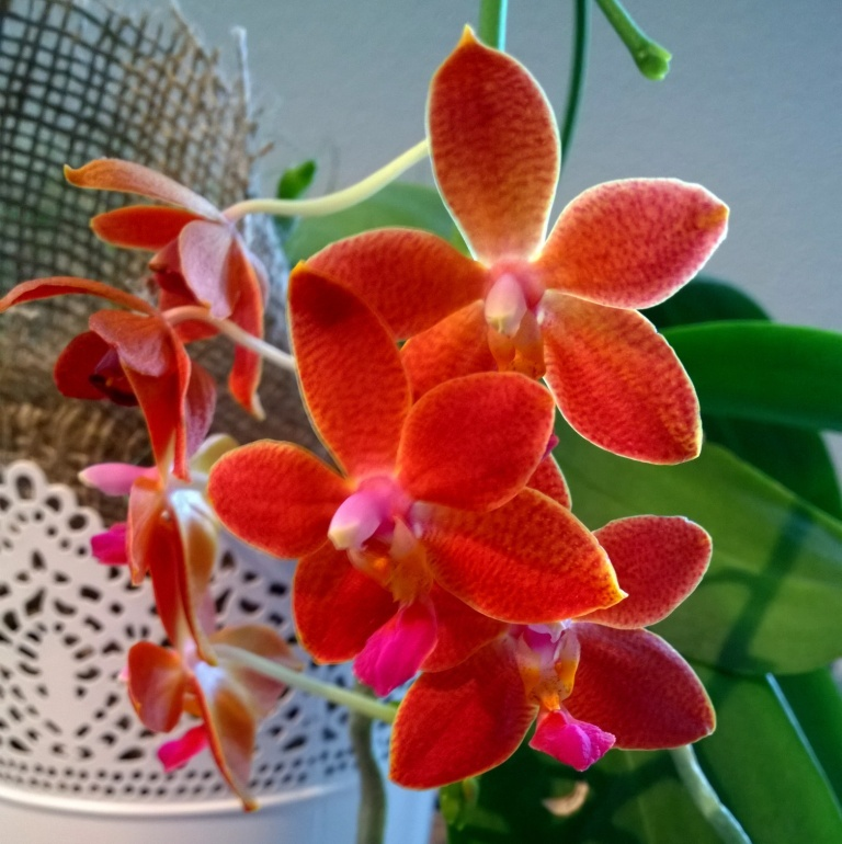 Phalaenopsis i-hsin Salmon copper star