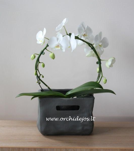Orchidejos kaina