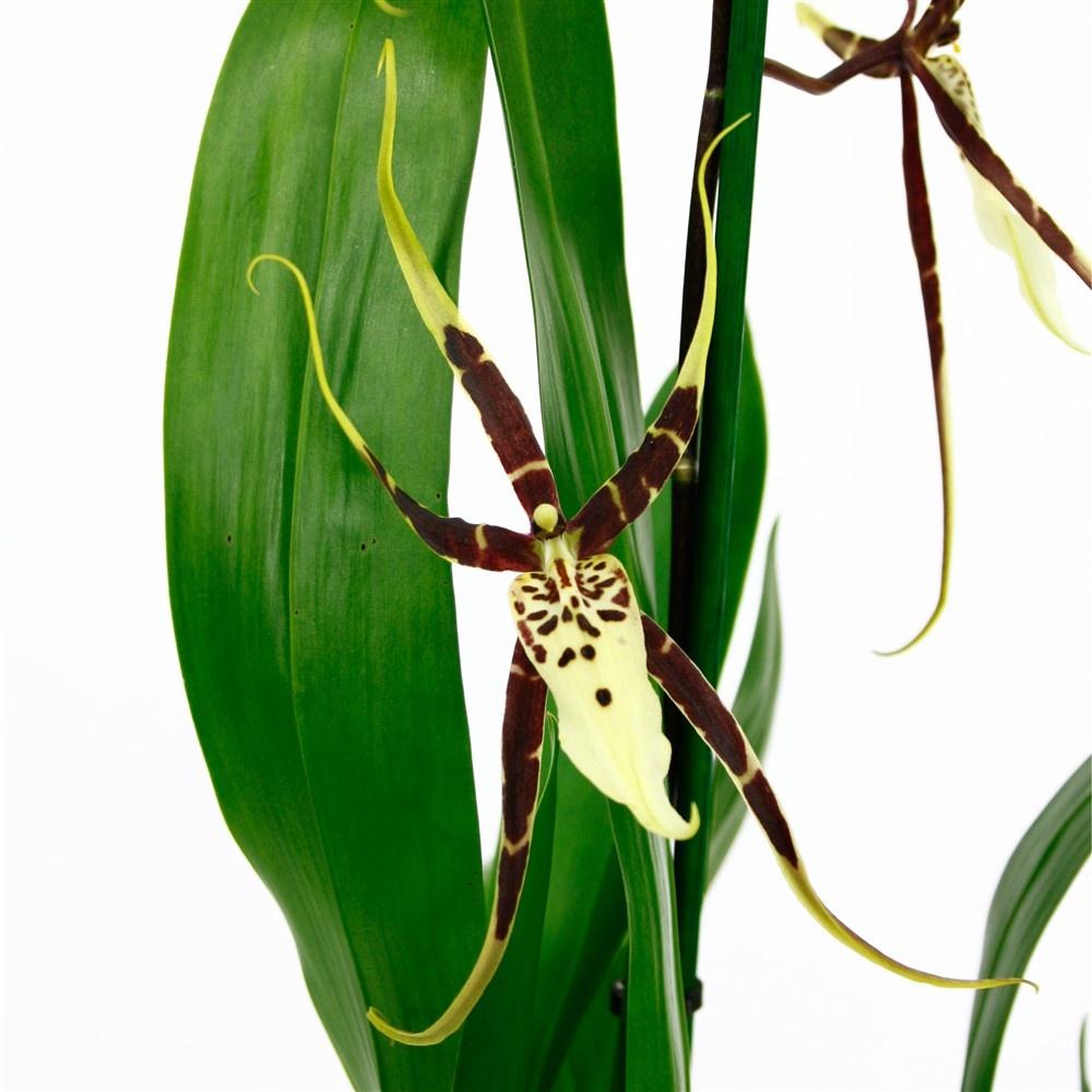 Brassia Toscane Orchids Orchid Care Substrates Orchidarium