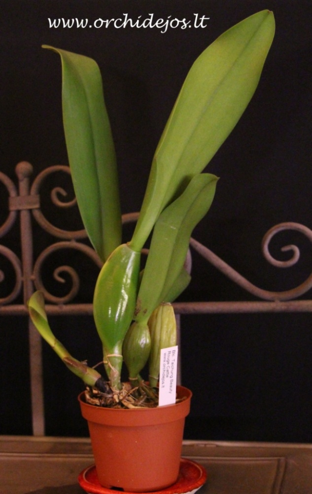 Pot taichung beauty rouge cattle orchids orchid care - Pot rouge exterieur ...