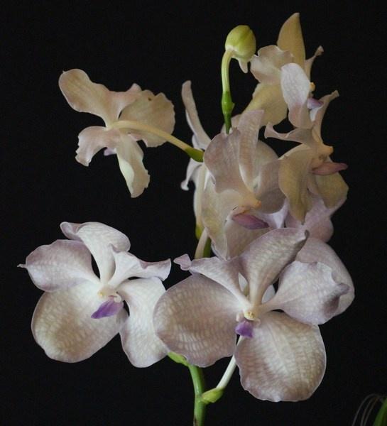 Vanda kanchana lavender mist orchids orchid care substrates orchidarium - Vanda orchid care ...