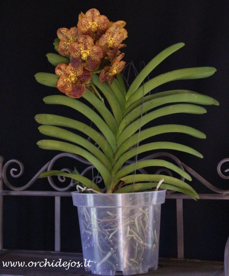 Vanda himba gold orchids orchid care substrates orchidarium - Vanda orchid care ...