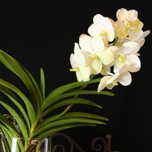 Vanda tayanee white orchids orchid care substrates orchidarium - Vanda orchid care ...