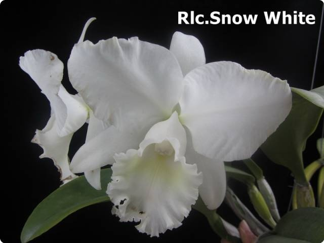 Rlc Snow White