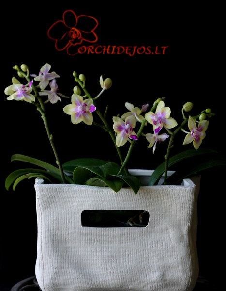 Orchideju vazonai