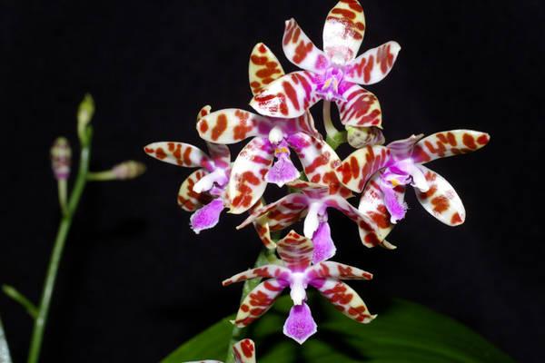 Phalaenopsis mariae.jpg