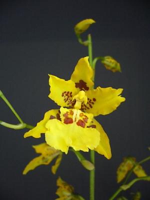 Cambria Tigrinum x Coronation.jpg