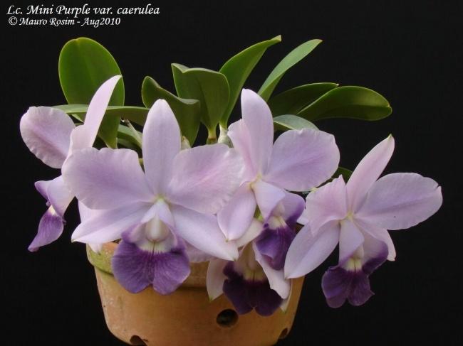 Lc Mini Purple Var Coerulea Orchids Orchid Care