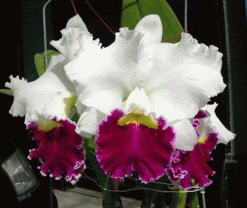 Lc Orglades Grand Tian Mu Orchids Orchid Care