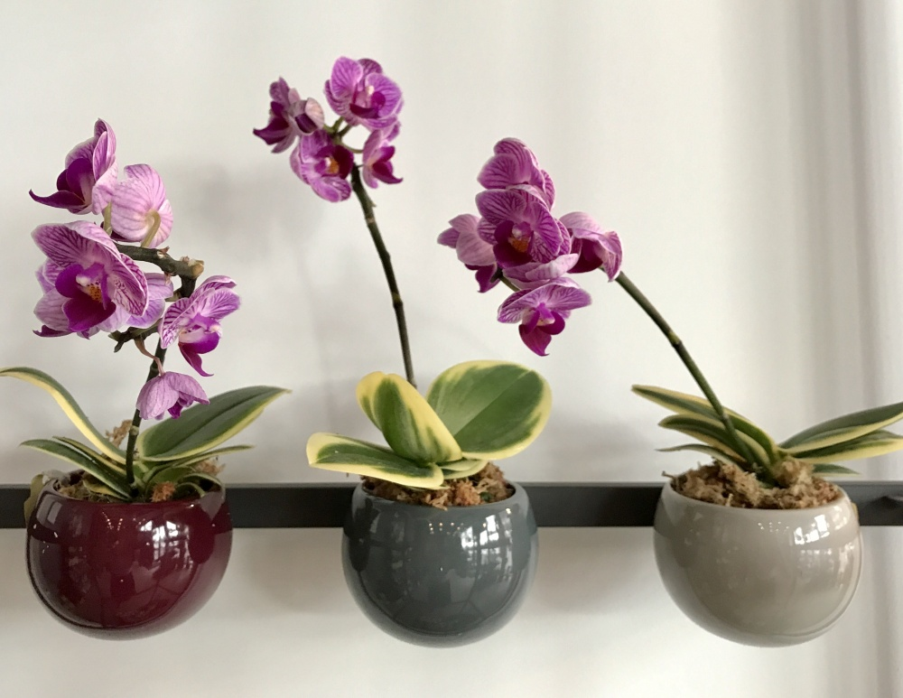 Mini Phalaenopsis Variegated Orchids Orchid Care