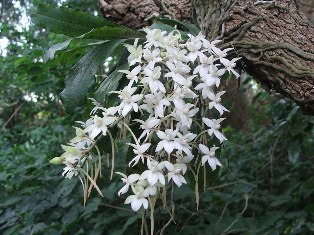 Aerangis Mystacidii Orchids Orchid Care Substrates