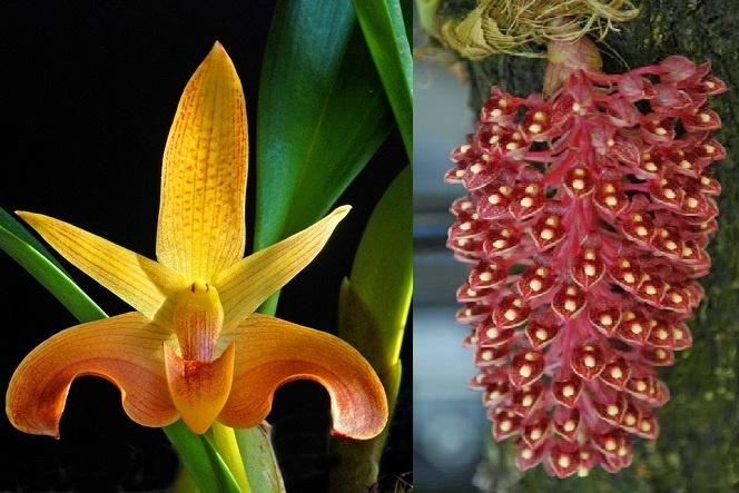 Bulbophyllum Lobbii X Beccarii Orchids Orchid Care