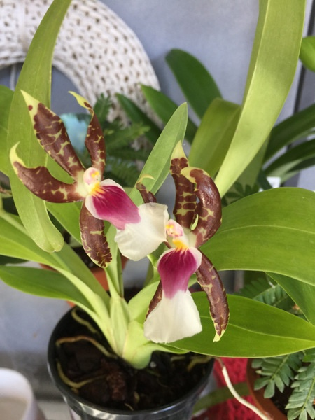 Miltonia Schroederiana Orchids Orchid Care Substrates