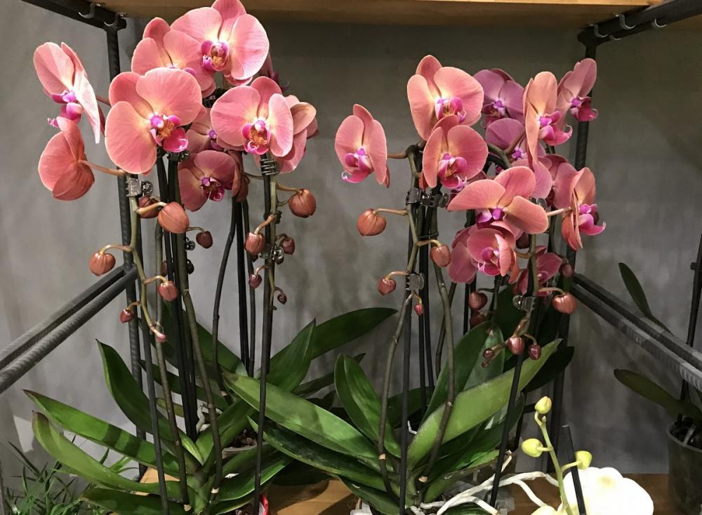орхидеи голд раш фото климат, море