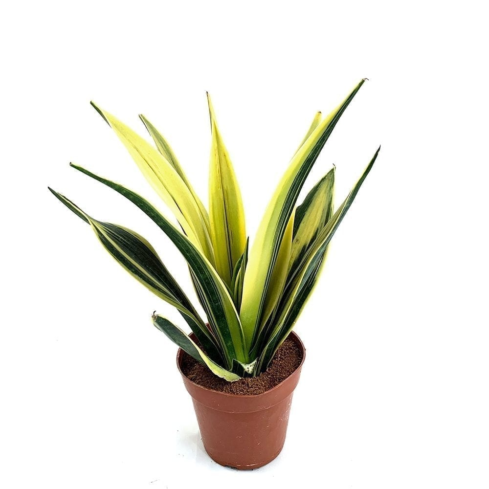 Sansevieria Golden Flame